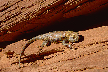 Desert Spiny Lizard (Sceloporus magister) sunning on rock, Monument Valley National Monument, Arizona  -  Jim Brandenburg