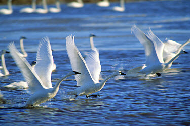 Tundra Swan (Cygnus columbianus) flock taking off from lake, Mattamuskeet National Wildlife Reserve, North Carolina  -  Jim Brandenburg