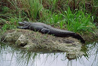 American Alligator (Alligator mississippiensis) on water bank, Everglades National Park, Florida  -  Jim Brandenburg