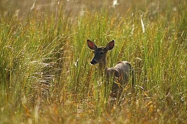 Key Deer (Odocoileus virginianus clavium) female in dewy grass, Corkscrew Swamp, Florida  -  Jim Brandenburg