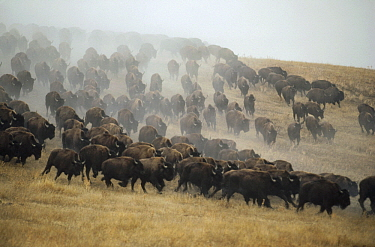 American Bison (Bison bison) herd stampeding, South Dakota