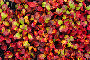 Bearberry (Arctostaphylos uva ursi) close up, Alaska  -  Michio Hoshino