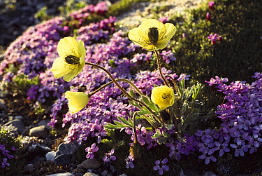 Arctic Poppy (Papaver lapponicum) flowers and Moss Campion (Silene acaulis) on tundra, Alaska  -  Michio Hoshino
