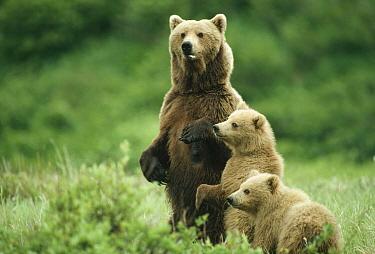 Grizzly Bear (Ursus arctos horribilis) mother with cubs, Alaska  -  Michio Hoshino