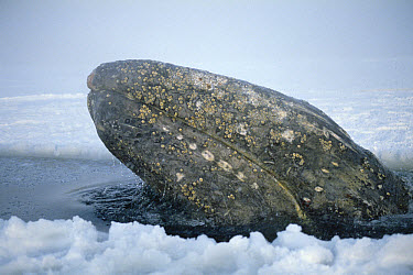 Gray Whale (Eschrichtius robustus) trapped by early freeze up, Alaska  -  Michio Hoshino