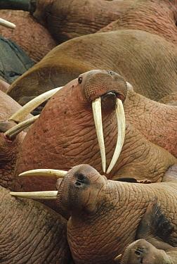 Pacific Walrus (Odobenus rosmarus divergens) group, Round Island colony, Alaska  -  Michio Hoshino