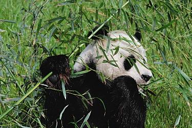 Giant Panda (Ailuropoda melanoleuca) eating bamboo, native to Asia  -  Jim Brandenburg
