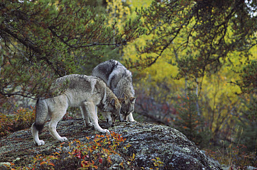 Timber Wolf (Canis lupus) pair on rock in the forest, Minnesota  -  Jim Brandenburg