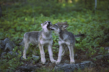 Timber Wolf (Canis lupus) pups play flighting, Minnesota  -  Jim Brandenburg