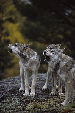Timber Wolf (Canis lupus) trio howling, Minnesota  -  Jim Brandenburg