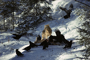 Timber Wolf (Canis lupus) feeding on carcass with Common Raven (Corvus corax) group, Minnesota  -  Jim Brandenburg