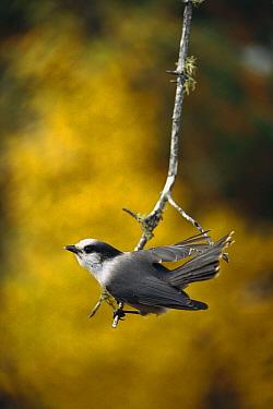 Canada Jay (Perisoreus canadensis) perching on hanging twig, Minnesota  -  Jim Brandenburg