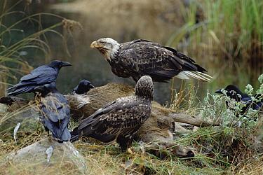 Bald Eagle (Haliaeetus leucocephalus) pair with Common Raven (Corvus corax) group feeding on deer carcass, Minnesota  -  Jim Brandenburg