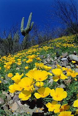 Mexican Golden Poppy (Eschscholzia glyptosperma) field with Saguaro (Carnegiea gigantea) cactus, Organ Pipe Cactus National Monument, Arizona  -  Jim Brandenburg
