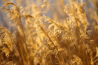 Common Reed (Phragmites australis) field at sunset, Tallgrass Prairie, South Dakota  -  Jim Brandenburg