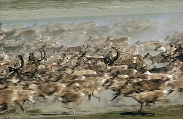 Caribou (Rangifer tarandus) herd stampeding, Arctic National Wildlife Refuge, Alaska  -  Michio Hoshino