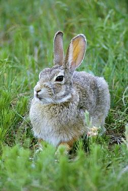 Cottontail Rabbit (Sylvilagus aquaticus), South Dakota  -  Jim Brandenburg