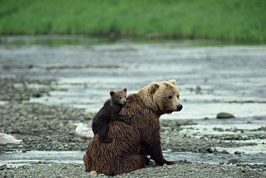 Grizzly Bear (Ursus arctos horribilis) mother with cub on her back sitting on river bank, Alaska  -  Michio Hoshino