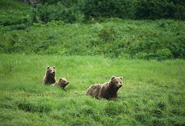 Grizzly Bear (Ursus arctos horribilis) mother and cubs in green grass, Alaska  -  Michio Hoshino