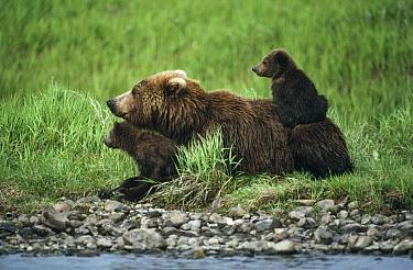 Grizzly Bear (Ursus arctos horribilis) mother and cubs at river's edge, Alaska  -  Michio Hoshino