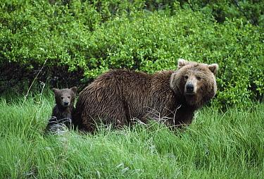 Grizzly Bear (Ursus arctos horribilis) mother and cub in green grass, Alaska  -  Michio Hoshino