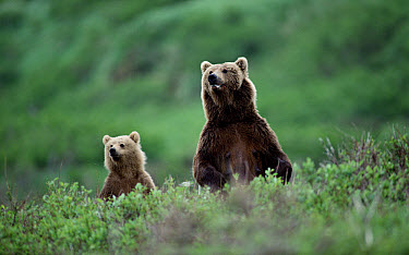 Grizzly Bear (Ursus arctos horribilis) mother and cub standing in green foliage, Alaska  -  Michio Hoshino
