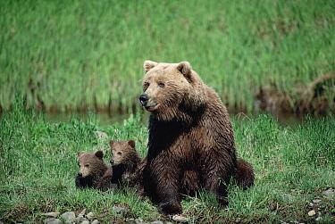 Grizzly Bear (Ursus arctos horribilis) parent with two cubs, Alaska  -  Michio Hoshino