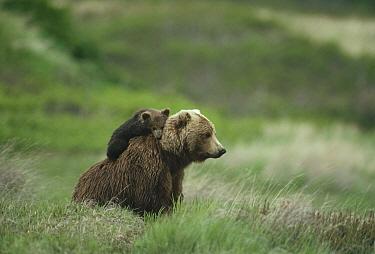 Grizzly Bear (Ursus arctos horribilis) mother and cub, Alaska  -  Michio Hoshino
