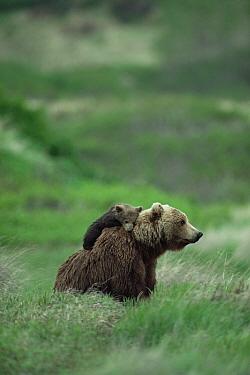 Grizzly Bear (Ursus arctos horribilis) cub rests on mother's back, Alaska  -  Michio Hoshino