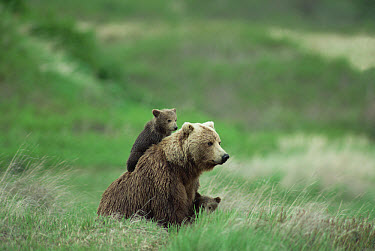 Grizzly Bear (Ursus arctos horribilis) female with two cubs sitting on her back, Alaska  -  Michio Hoshino
