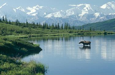 Alaska Moose (Alces alces gigas) in Wonder Lake, Denali National Park and Preserve, Alaska  -  Michio Hoshino