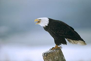 Bald Eagle (Haliaeetus leucocephalus) calling from perch, Alaska  -  Michio Hoshino