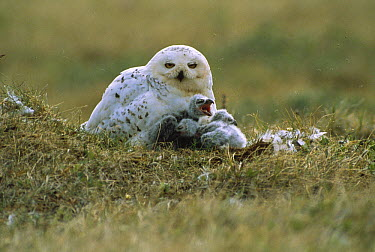 Snowy Owl (Nyctea scandiaca) parent and chicks at tundra nest, Alaska  -  Michio Hoshino
