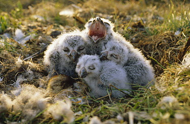 Snowy Owl (Nyctea scandiaca) chicks in nest, Alaska  -  Michio Hoshino