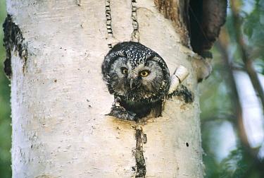 Boreal Owl (Aegolius funereus) in nest cavity, Alaska  -  Michio Hoshino