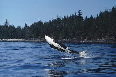 Orca (Orcinus orca) breaching, British Columbia, Canada  -  Flip Nicklin