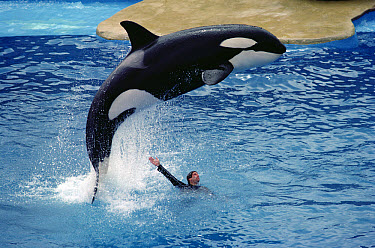 Orca (Orcinus orca) leaping over trainer, Sea World, San Diego, California  -  Flip Nicklin
