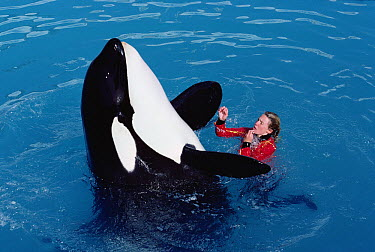 Orca (Orcinus orca) with trainer, Sea World, San Diego, California  -  Flip Nicklin