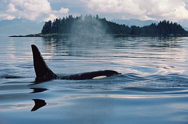 Orca (Orcinus orca) surfacing, Johnstone Strait, British Columbia, Canada  -  Flip Nicklin