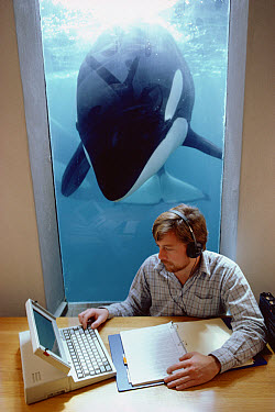 Orca (Orcinus orca) song listened to by John Ford, Vancouver Aquarium, British Columbia, Canada  -  Flip Nicklin