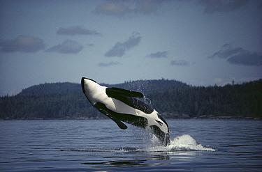 Orca (Orcinus orca) male breaching, Johnstone Strait, British Columbia, Canada