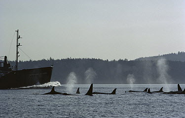 Orca (Orcinus orca) pod surfacing beside shipping tanker, British Columbia, Canada  -  Flip Nicklin