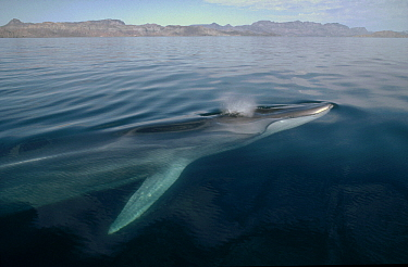 sFin Whale (Balaenoptera physalus) surfacing, Baja California, Mexico