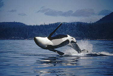 Orca (Orcinus orca) adult male named B-3 breaching, Johnstone Strait, British Columbia, Canada  -  Flip Nicklin