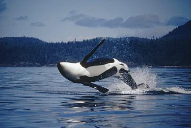 Orca (Orcinus orca) adult male named B-3 breaching, Johnstone Strait, British Columbia, Canada  -  Flip Nicklin