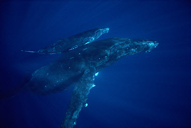 Humpback Whale (Megaptera novaeangliae) mother and calf off of the Kona coast, Hawaii  -  Flip Nicklin