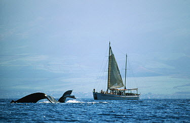 Humpback Whale (Megaptera novaeangliae) tails and sailboat with whale watching tour, Hawaii  -  Flip Nicklin