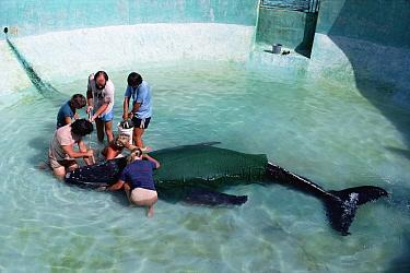 Humpback Whale (Megaptera novaeangliae) rescue workers feeding stranded calf through a tube, Sea Life Park, Oahu, Hawaii  -  Flip Nicklin