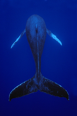 Humpback Whale (Megaptera novaeangliae) male singing, Kona coast, Hawaii