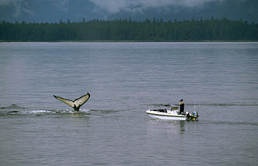 Researchers in boat observe and photograph Humpback Whale (Megaptera novaeangliae) tail, Alaska  -  Flip Nicklin